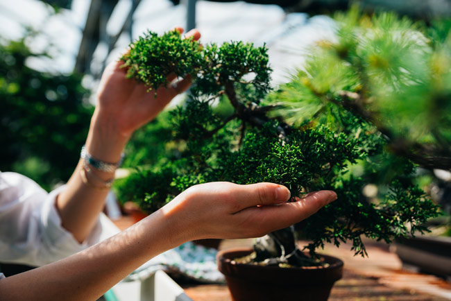 woman pruning bonsai tree - ecotherapy